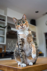 Brown Tabby Cat on Counter with Paw Raised