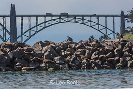 California Sea Lions and Yaquina Bay Bridge in Newport, Oregon