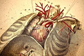 Heart and Lungs in Rib Cage