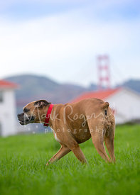 Tan Boxer Dog Walking Near Golden Gate Bridge