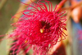 Eucalyptus red flower