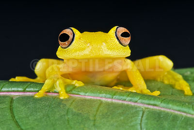 Yellow glass frog (Cochranella sp) photos