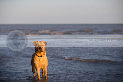 tan dog waiting with anticipation in lake with waves