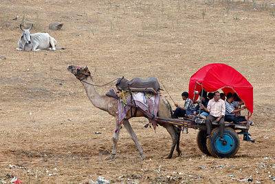 Indian tourists are taken for a camel ride in Pushkar, Rajasthan, India