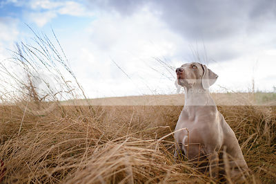 grey weimaraner posing in dried grasses under cloudy sky