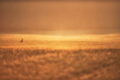 One of my favourite shots of the year, taken near Beeley and as i watched this hare dance around the crop i prayed he would sty in shot for a second or two as the field was so golden it simply had to come out a beautiful picture, which indeed it did I hope !