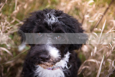 headshot of cute puppy staring upward in natural setting