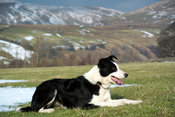 Border collie sheepdog working sheep in upland pastures in winter. Cumbria, UK