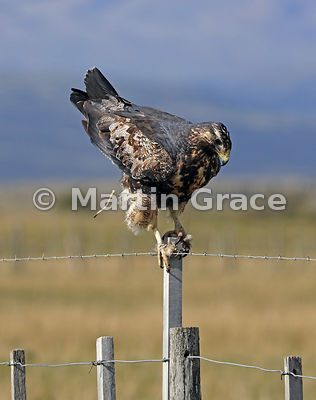 Juvenile Black-Chested Buzzard-Eagle (Geranoaetus melanoleucus) defecating as it stands on a fence post, Patagonia, Chile