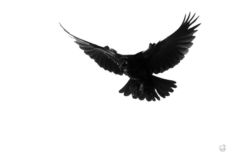 Black Wings stretched