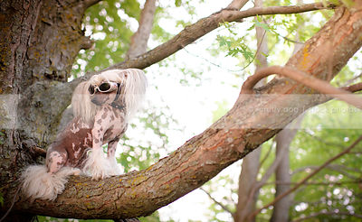 chinese crested freckled dog perched in tree wearing doggles