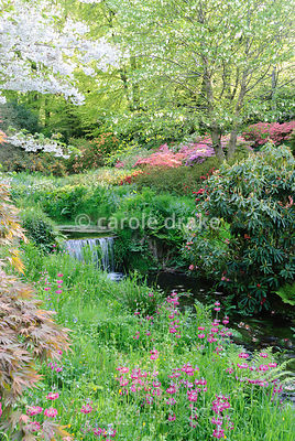 Vivid mounds of azaleas cluster below a handkerchief tree, Davidia involucrata, and Prunus 'Shogetsu', beside the Addicombe Brook flowing down from Dartmoor and through the garden with vivid Primula pulverulenta in the foreground. Lukesland, Harford, Ivybridge, Devon, UK