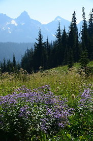 Vertical view of a meadow on Mt. Rainier