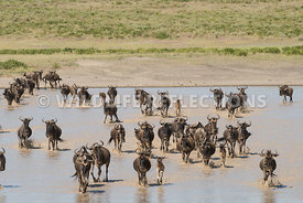 wildebeest_lake_crossing_sequence_02242015-58