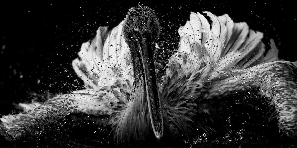 4971-Bird-Pelican_in_the_water_Namibia_2004_Laurent_Baheux