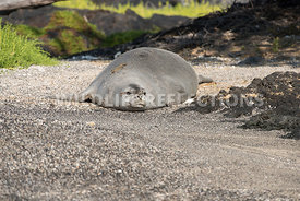 hawaiian_monk_seal_big_island_02062015-36