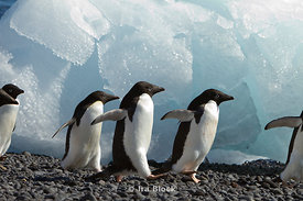 Adelie penguins playing around on the sea shore of the Antarctic Peninsula.