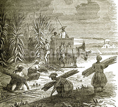 Slaves gather sugar cane