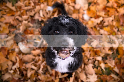 intense black and white puppy staring upward from autumn leaves