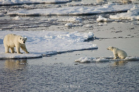 A female polar bear looks out to her young cub sitting on an opposite ice floe in the Arctic waters near Edgoya.
