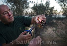 Christakis an officer from the British Sovereign Base Police at Dekeleia Cyprus extracting an illegally trapped Great Reed Warbler from a mist net in olive grove.  Bird would be used to serve as a delicacy in resaurants known as ambelopoulia
