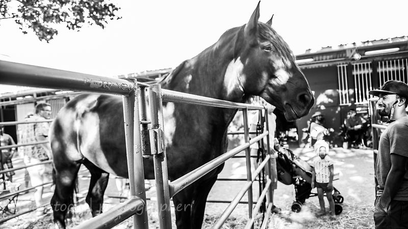 Lazarus, Percheron, horse--a gentle giant
