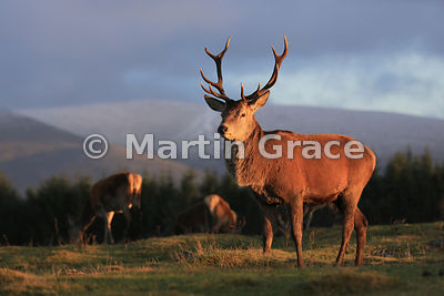 Red deer stag (Cervus elaphus) in late afternoon sunlight, Scottish Highlands