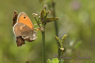 Procris (Coenonympha pamphilus) photos