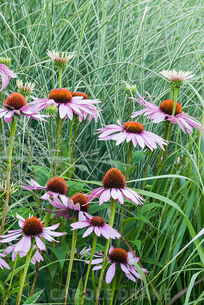 Echinacea purpurea with fine leaves of Miscanthus 'Morning light' behind. Broughton Buildings, Broughton, nr Stockbridge, Hants, UK
