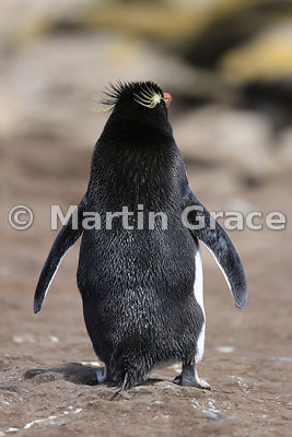 Southern Rockhopper Penguin (Eudyptes chrysocome chrysocome) from behind, Saunders Island, Falkland Islands