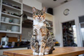 Tabby Cat On Butcher Block Kitchen Counter