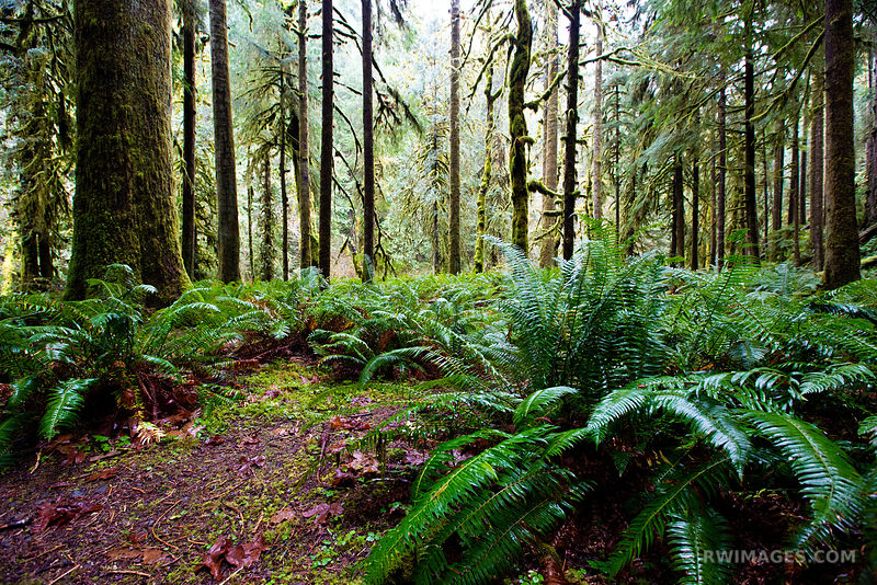 TEMPERATE RAINFOREST MOSSY TREES FERNS MARYMERE FALLS TRAIL OLYMPIC NATIONAL PARK WASHINGTON COLOR