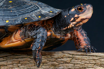 Spotted turtle (Clemmys guttata) photos