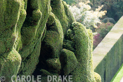 Massive undulating yew hedge at Powis Castle Gardens showing its red berries or arils with Yew Walk below
