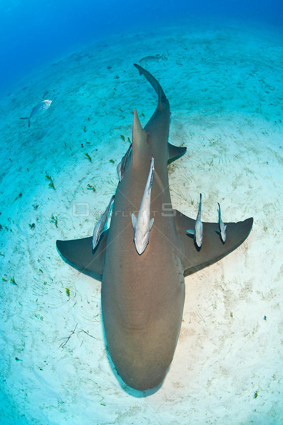 Lemon shark (Negaprion brevirostris) from above with Remoras (Echeneis naucrates). Little Bahama Bank. Bahamas. Tropical West Atlantic Ocean.