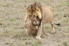 lion_carrying_dead_cub_15