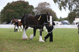 HOY_220314_Clydesdales_2363