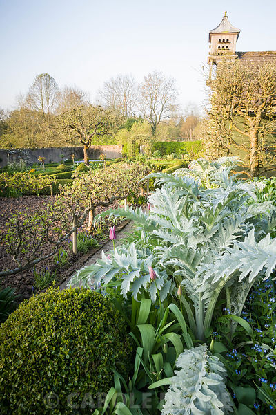 Silvery new leaves of cardoons, Cynara cardunculus, with pink tulip 'Ballade' and clipped box in the walled kitchen garden. Brilley Court Farm, Whitney-on-Wye, Herefordshire, UK