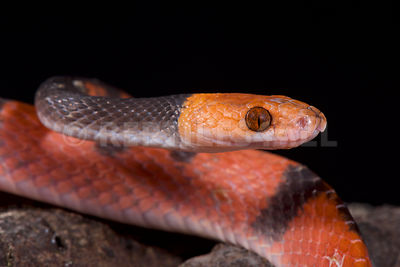 Red vine snake (Siphlophis compressus) photos