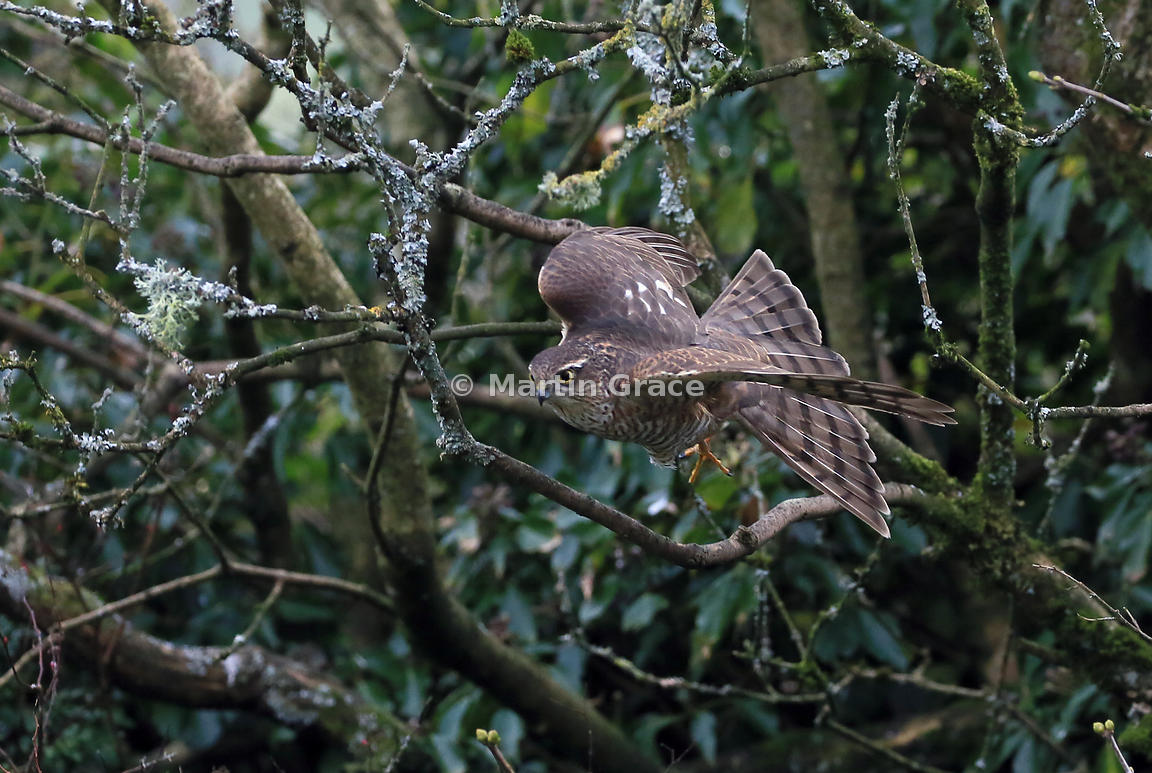 Juvenile male Eurasian Sparrowhawk (Accipiter nisus) flies at targeted prey, Lake District National Park, Cumbria, England
