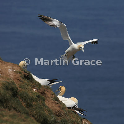 Northern Gannet (Morus bassanus) in flight, coming in to land, Bempton Cliffs (RSPB), East Riding of Yorkshire, England