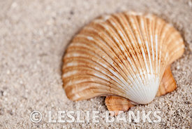 Scallop shell on sand