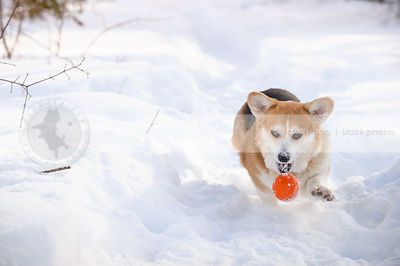 tricolor short corgi chasing ball down snow trail in winter