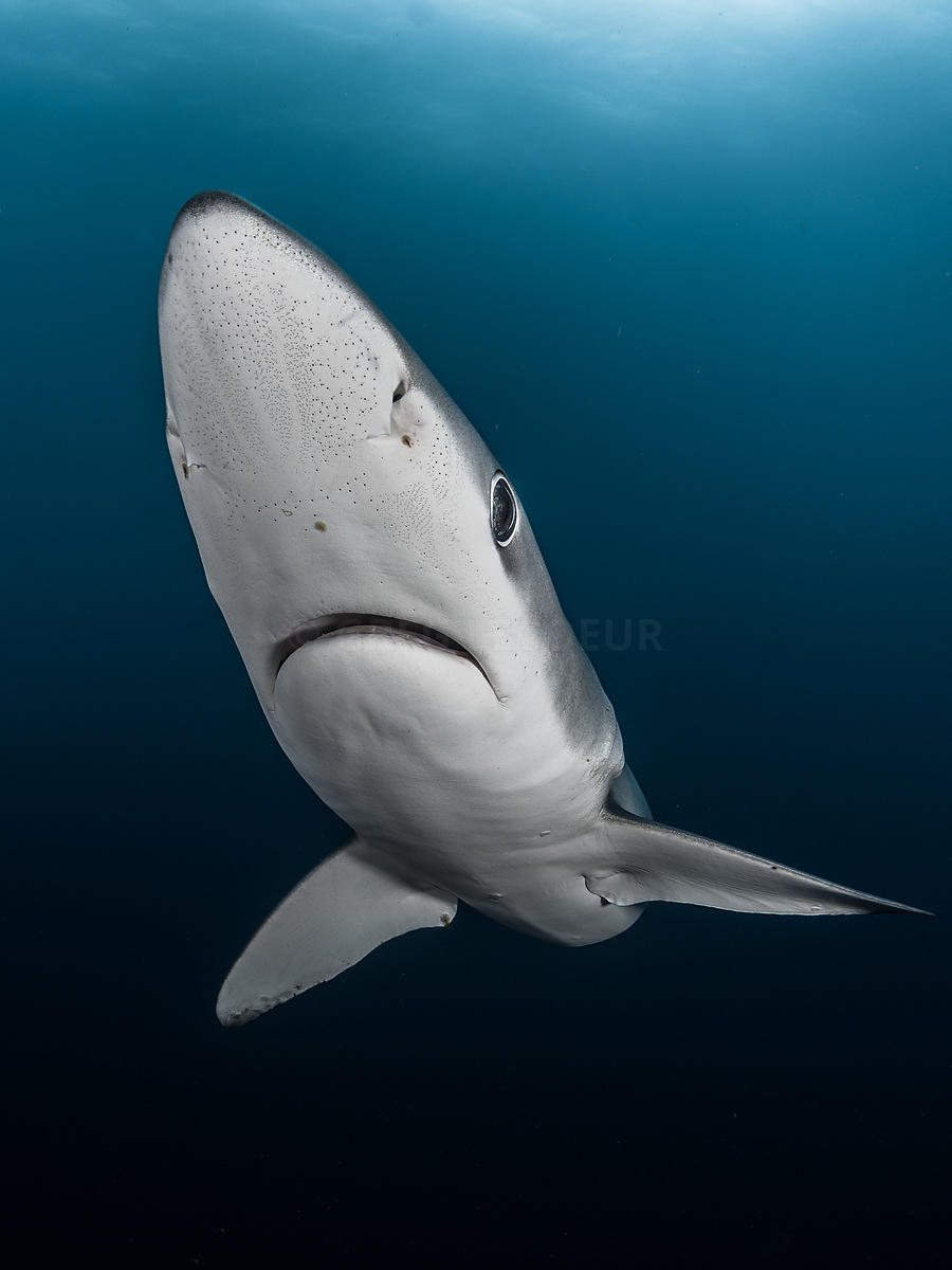 Blue shark from cape point, South Africa