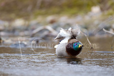 Waterfowl photos