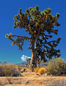 Arbre de Josué 6 Joshua Tree Park Californie USA 10/12
