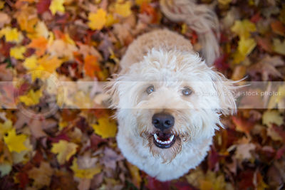 cream cross breed dog smiling upward from autumn leaves