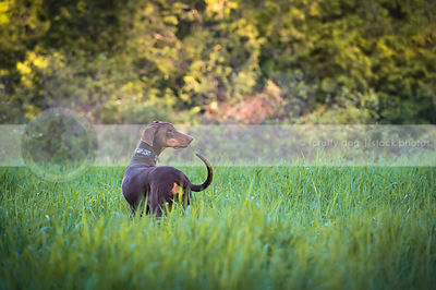 doberman dog from behind looking away standing in meadow