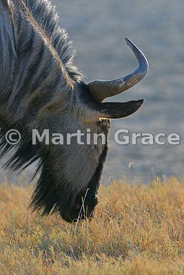 Blue Wildebeest (Conochaetes taurinus) grazing at the edge of Etosha salt pan, Namibia