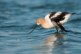 American Avocet, Redwood Shores, CA, USA